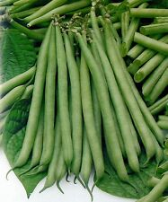 ORGANIC VEGETABLE  DWARF FRENCH BEAN  SLENDERETTE  140 SEEDS