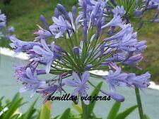 Agapanthus blue, agapanto azul, 50 semillas, seeds , graines , samen