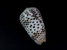 Conus pulicarius, Bohol, Philippines, 59,2 mm, EXTRA LARGE, SUPERB