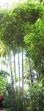 pflegeleichte Zimmerpflanze Wintergarten Terrasse Balkon Samen EISEN-BAMBUS