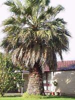 5 Washingtonia Palmen / immergrüne Bäume für den Garten winterharte Palmensorten
