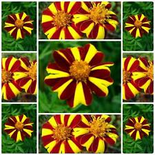 "MARIGOLD ""COURT JESTER""  SUMMER FLOWER SEEDS 100 SEEDS BRIGHT AND FUN FLOWERS"