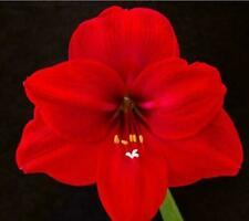 Stunning Blooming Amaryllis Bulbs Free Shipping Perennial Home Garden Flower Top