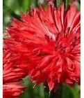 80 graines de BLEUET ROUGE (Centaurea Cyanus)X261 RED CORNFLOWER SEEDS SAMEN