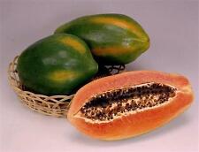 "Red Lady Papaya - Great Fruit Tree - 8"" to 1 Feet Tall - Ship in 3"" Pot"
