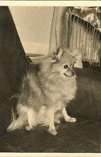 """Miniature Dog """"Mittel"""" German - Spitz - type - dog"""