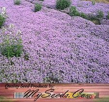 (10,000) DWARF CREEPING THYME Herb Seeds - Thymus Serpyllum ~ Butterfly love it