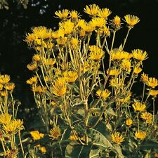 Elecampane (Inula helenium) 150 seeds