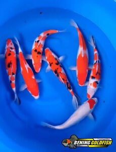 Koi live fish F1 gosanke 7 fish  33 - 35cm  By. Bening Goldfish