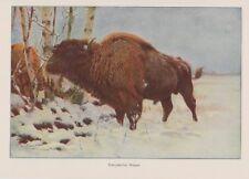 Wisent oder Europäische Bison (Bison bonasus)  Wilhelm Kuhnert Farbdruck 1953