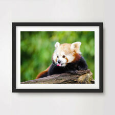 RED PANDA ANIMAL WILDLIFE PHOTOGRAPHY ART PRINT Poster A4 A3 A2 10 Size Options