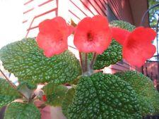 SINNINGIA BULLATA >FLORIANOPOLIS  ORANGE WITH RED DOT FLOWERS - RARE SEEDS 50+