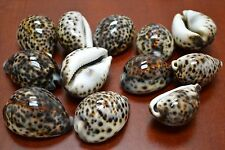 "12 PCS TIGER CYPRAEA TIGRIS COWRIE SEA SHELL BEACH DECOR 2"" - 2 1/2"" #7839"