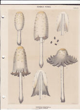 MUSHROOM PRINT. Edible Fungi Of New York. Circa 1900 ~Coprinus Comatus~