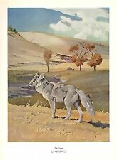 """1957 Vintage FRANCIS LEE JAQUES """"COYOTE"""" FABULOUS Color Art HUNTING Lithograph"""