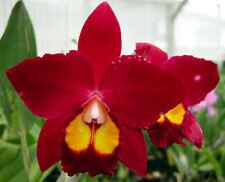Pot. Hawaiian Prominence 'America' AM/AOS - 25 Plugs....3 years to Bloom
