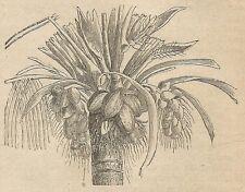 A4411 Frutto del cocco indiano - Incisione - Stampa Antica del 1887