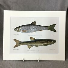 Antique Fish Print Minnow  Marine Art Fishing Dace Victorian
