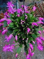 3 pinkish purple unrooted thanksgiving cactus cuttings