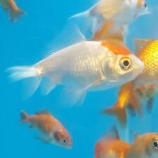 Goldfish Peaceful Live Aquarium Fish