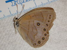 Lepidoptera Satyridae Satyrodes appalachia TN #9160-1 Satyr Butterfly Insect