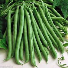 100 Blue Lake Bush Bean 274 Heirloom Seeds - COMB S/H