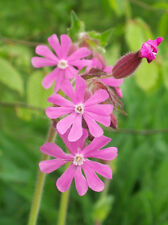 Red Campion (Silene Dioca) Seed