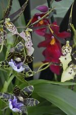 Mixed orchid plantS, Zygopetalum, Miltonia, other cultivars In Flower Currently