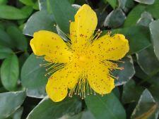 St. John's Wort Hypericum 6 Plants in 3-1/2 inch Pots