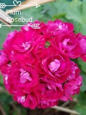 GERANIUM PELARGONIUM  PLUM ROSEBUD PLANT $7       POSTAGE ANY3 FOR $8.00