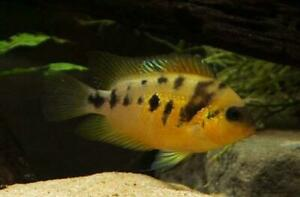 AWESOME CRYPTOHEROS NANOLUTEUS 3/4 INCH CENTRAL AMERICAN CICHLID