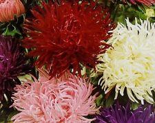 TIGER PAWS ASTER Huge Flower Double Chrysanthemum Mum Sturdy Top Rank 30 Seeds