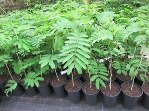 Albizia julibrissin 'Rosea' - Seidenbaum - Pflanze 60-90cm - Winterhart