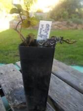 Orange Mint Mentha piperita citrata 1 x perennial herb plant tube size