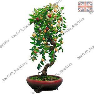 RARE Jujube Ziziphus Jujuba Date Bonsai Fruit Tree - 10 Viable Seeds - UK Seller