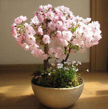 Seeds Bonsai Hot Cherry Flower Blossoms Bonsai Tree Sakura seeds Japanese 20PCS