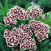 40+ DIANTHUS HOLBORN MINIATURE CARNATION FLOWER SEEDS /PERENNIAL