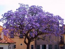 Paulownia tomentosa (Empress Tree / Foxglove Tree) 50 Rare viable plant seeds