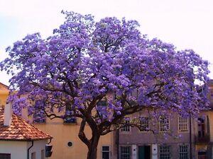 Paulownia tomentosa (Empress Tree / Foxglove Tree) 50 Rare viable plant seeds