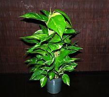 "Golden Pothos 6"" TOTEM POLE~ Tropical Vining House Plant SUPER LARGE & FULL"
