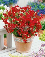 Nemesia Fiery King Flower Seeds from Ukraine