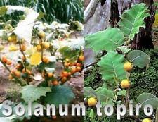 Solanum topiro, Orinoko Apfel, Cocona, 20 Samen