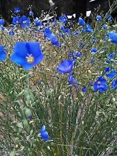 Tall Blue Flax. 100 Seeds, Drought Hardy, loves poor soil.🔥 CabinFeverTraders