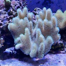 Finger Leather Coral White/Pink Frag
