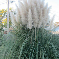 1000**** Ornamental WHITE PAMPAS GRASS SEEDS  FLOWERING PERENNIAL HUGE BLOOMS
