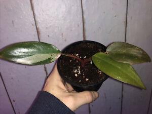 Philodendron Pink Princess ganze Pflanze, selten