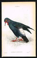 1835 Antique Print - Garunoulated Ground Pigeon, Hand-Col. Engraving - Jardine