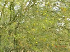 Green Bark Mexican Parkinsonia Aculeata jerusalem thorn palo verde tree seeds 20