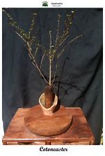 Planta de Cotoneaster - Cotoneaster horizontalis - 2 años
