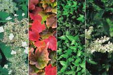 Kletterhortensie, Jungfernrebe, Gemeiner Efeu & Schlingknöterich Kletterpflanzen